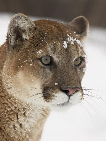 Mountain Lion or Cougar in Snow, Near Bozeman, Montana, USA