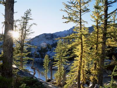 Alpine Larch Trees, Enchantment Lakes, Alpine Lakes Wilderness, Washington State, USA