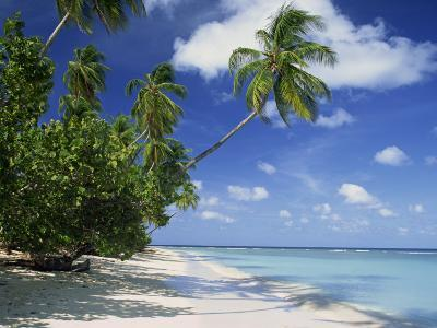 Palm Tree on a Tropical Beach on the Island of Tobago, West Indies, Caribbean, Central America