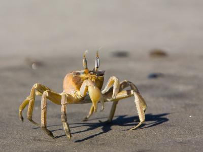 Ghost Crab, Atlantic Ocean Coast, Namibia, Africa