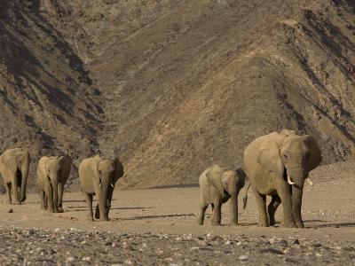 Herd of Desert-Dwelling Elephant, Namibia, Africa