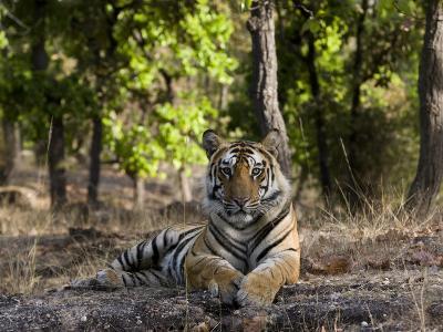Indian Tiger, Bandhavgarh National Park, Madhya Pradesh State, India
