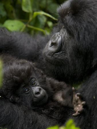Mountain Gorilla with Her Young Baby, Rwanda, Africa
