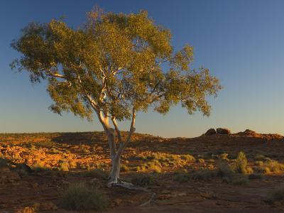 Ghost Gum Tree, Watarrka National Park, Northern Territory, Australia, Pacific