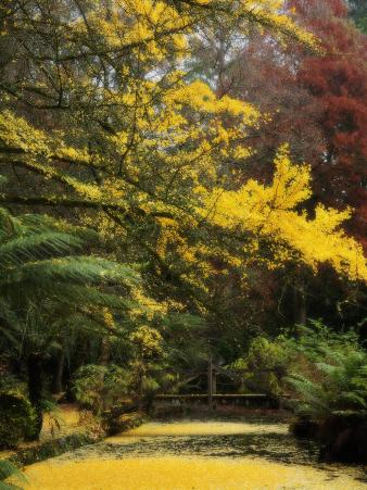 Ginkgo Tree Dropping Autumn Leaves, Alfred Nicholas Gardens, Dandenong Ranges, Victoria, Australia