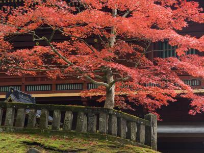 Japanese Maple, Tosho-Gu Shrine, Nikko, Central Honshu, Japan