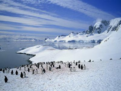 Gentoo Penguins Stand on Snow on the Shore Along the Coast of the Antarctic Peninsula, Antarctica