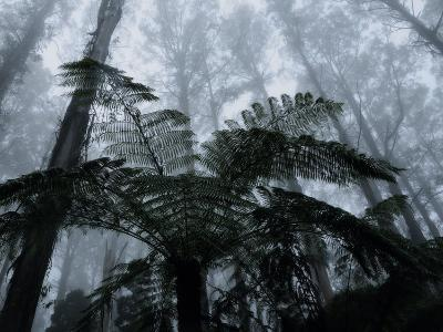 Mountain Ash Trees and Tree Ferns in Fog, Dandenong Ranges, Victoria, Australia