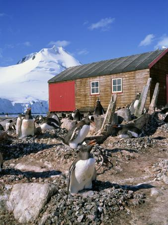 Gentoo Penguins on Nests, Port Lockroy on the Antarctic Peninsula, Antarctica, Polar Regions