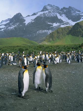 Small Group of Emperor Penguins, South Georgia, South Atlantic, Polar Regions