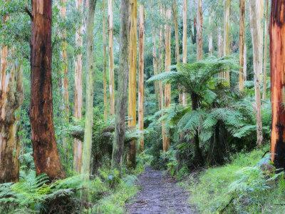 Path Through Forest, Dandenong Ranges, Victoria, Australia, Pacific