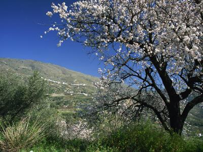 Almond Blossom in Springtime in the Alpujarras, Granada, Andalucia, Spain, Europe