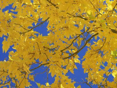 Close-Up of Golden Autumn Leaves in the Zion National Park, Utah, USA