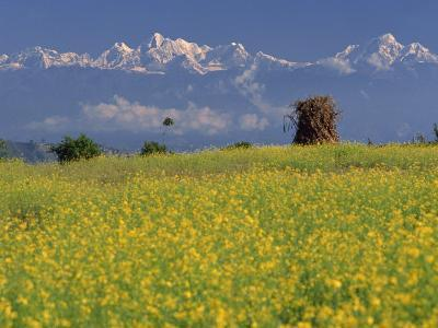 Landscape of Yellow Flowers of Mustard Crop the Himalayas in the Background, Kathmandu, Nepal