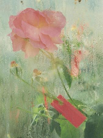 Pale Salmon Pink Rose Against a Window Pane with Heavy Condensation