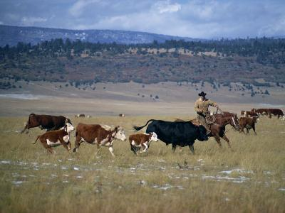 Cowboy Rounding Up Cattle, Diamond Ranch, New Mexico, United States of America, North America