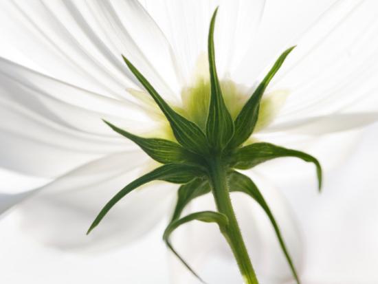 White cosmos flower harpswell maine usa photographic print by white cosmos flower harpswell maine mightylinksfo
