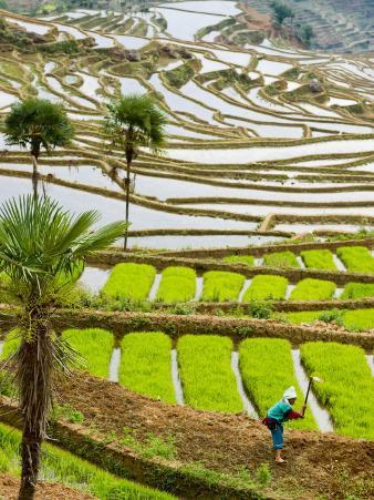 Hani Woman in Flooded Jiayin Terraces, Honghe County, Yunnan Province, China