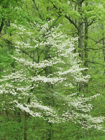 Irish Wilderness, Flowering Dogwood, Mark Twain National Forest, Missouri, USA