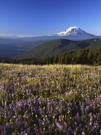 Mt. Adams in distance, Meadow, Goat Rocks Wilderness, Washington, USA