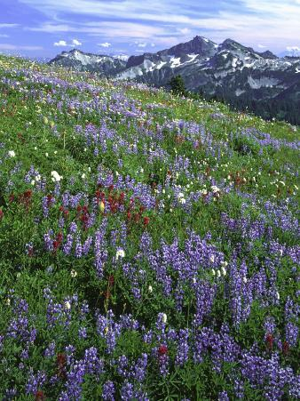 Lupine and Indian Paintbrush beneath the Tatoosh Range, Mt. Rainier National Park, Washington, USA