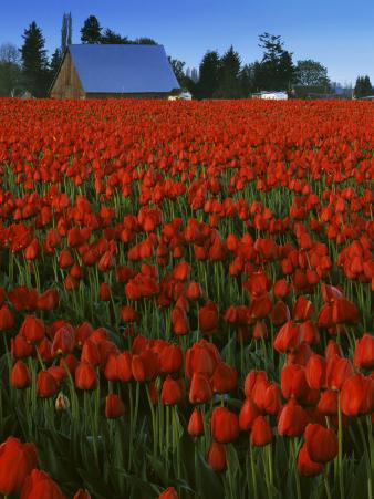 Tulips, Skagit River Valley, Washington, USA