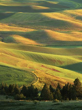Wheat Fields, Palouse, Steptoe Butte State Park, Whitman County, Washington, USA