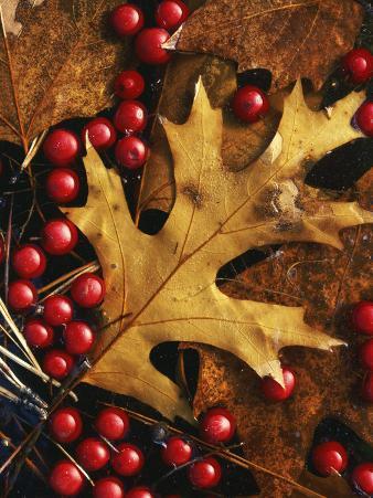 Hawthorn berries and Black Oak leaf, Spokane County, Washington, USA