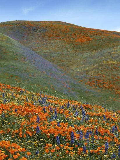 Wildflowers, Tehachapi Mountains, California, USA Photographic Print by Charles Gurche at AllPosters.com