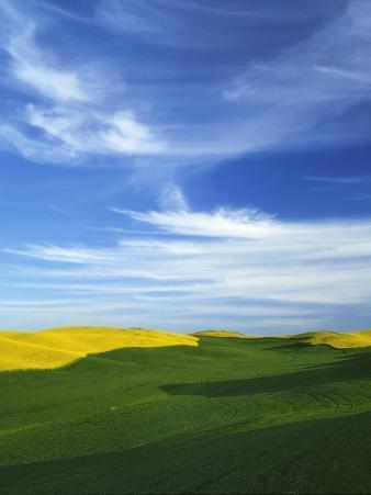 Fields of Wheat and Canola, Palouse, Whitman County, Washington, USA