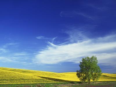 Cottonwood and Canola fields, Whitman County, Washington, USA