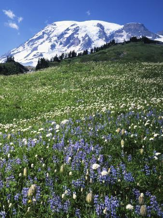 Paradise Meadows, Mt. Rainier National Park, Washington, USA