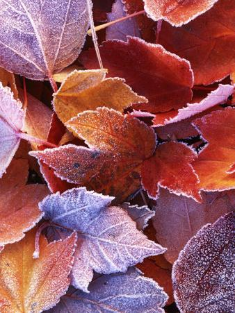 Frosted Maple leaves, Spokane County, Washington, USA