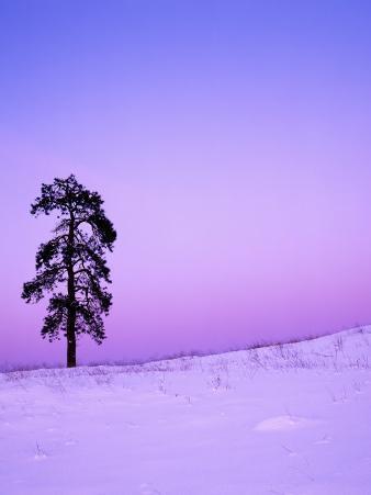 Ponderosa Pines at dusk, Riverside Hills, Spokane County, Washington, USA