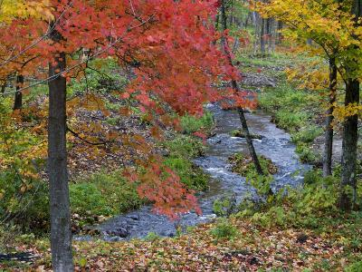 Coles Creek lined Autumn Maple Trees, Houghton, Michigan, USA