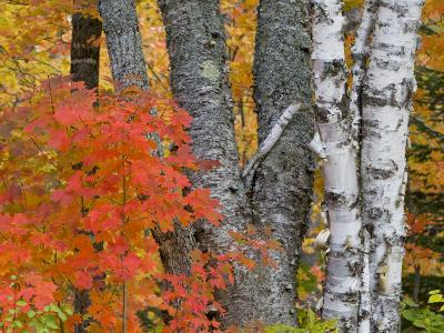 Colorful Maple Trees , Keweenaw Penninsula, Michigan, USA