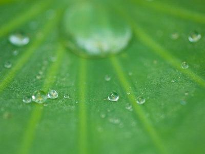 Dew Drops on Lotus Leaf, Kenilworth Aquatic Gardens, Washington DC, USA