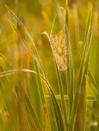 Orb Spider Web Covered in Dew, Huntley Meadows, Fairfax, Virginia, USA