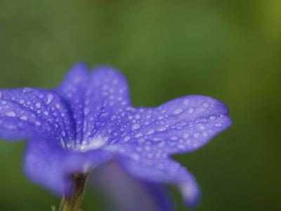 Blue Flower with Dew Drops, Brookside Gardens, Wheaton, Maryland, USA