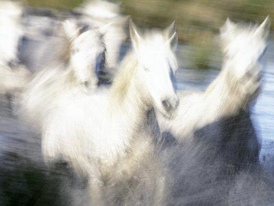 Camargue Horses, Ile Del La Camargue, France