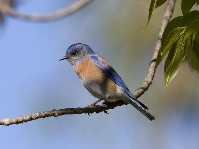 Western Bluebird, San Diego County, California, USA