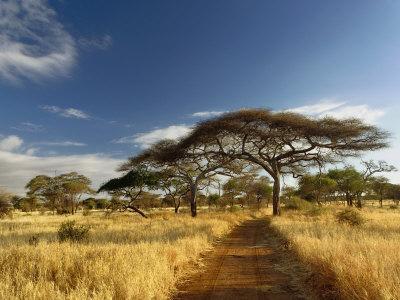 Primitive dirt roadway and acacia Trees, Tarangire National Park, Tanzania