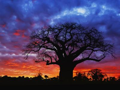 African baobab tree, Tarangire National Park, Tanzania