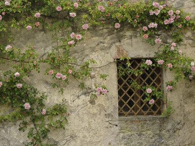 Roses on old stone wall, Tuscany, Italy