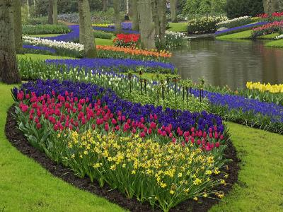 Tulips, Grape Hyacinth and Daffodils, Keukenhof Gardens, Lisse, Netherlands