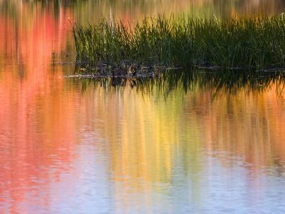 Grasses Growing in Water Reflecting, South Paris, Maine, USA