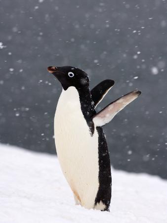 Adelie Penguin in Falling Snow, Western Antarctic Peninsula, Antarctica