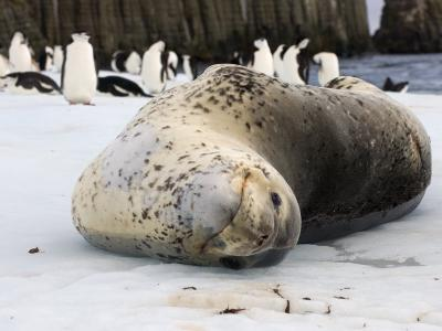 Chinstrap Penguins and Leopard Seal, The South Shetland Islands, Antarctica