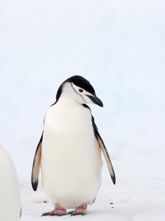 Chinstrap Penguin, The South Shetland Islands, Antarctica