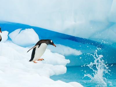 Gentoo Penguin Jumping off Iceberg, Western Antarctic Peninsula, Antarctica
